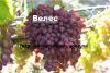 Саженцы новых сортов винограда (Велес,Черный палец,Преображение,София)