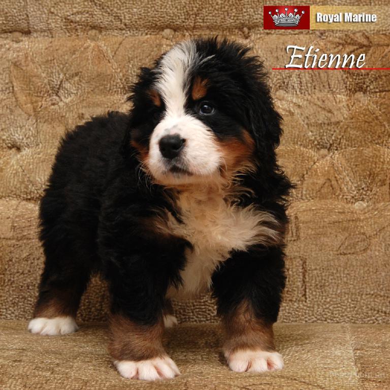 Продается элитный щенок Бернского Зенненхунда от Чемпионов