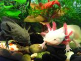 Мексиканский аксолотль - аквариумный дракон