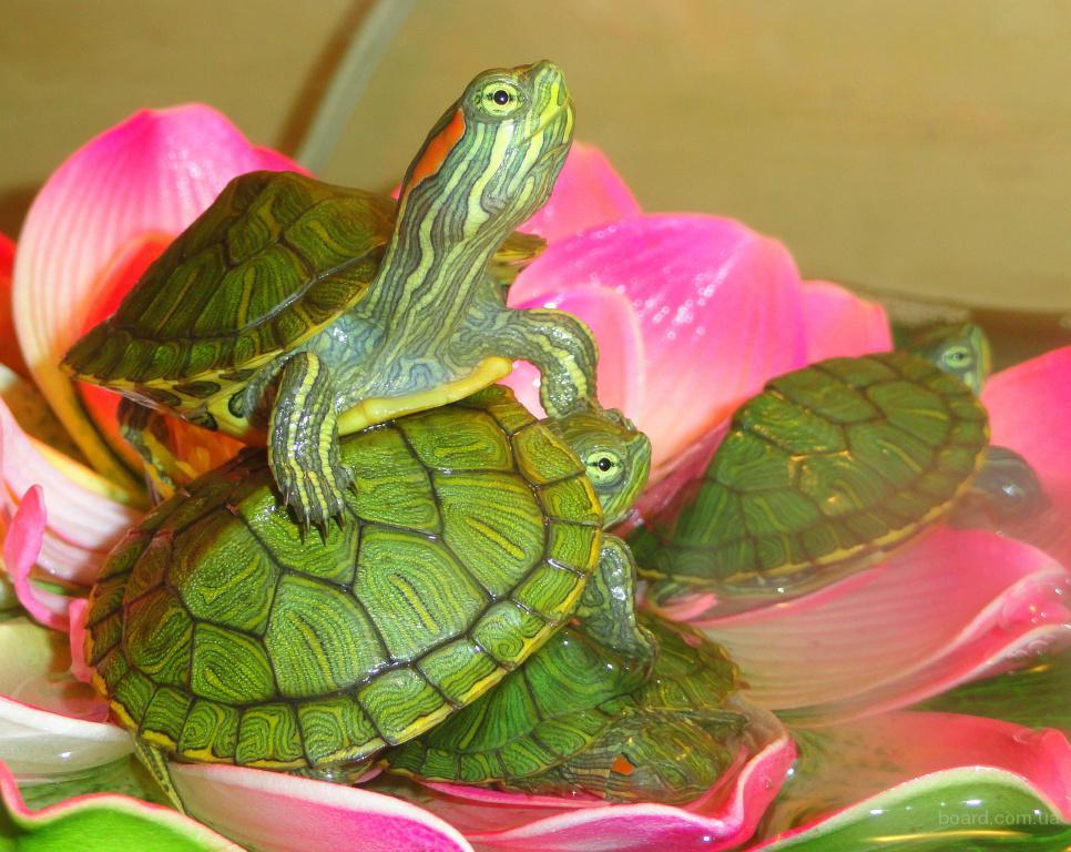 Американская красноухая черепаха