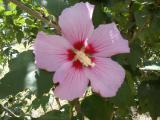 Свои семена садового гибискуса