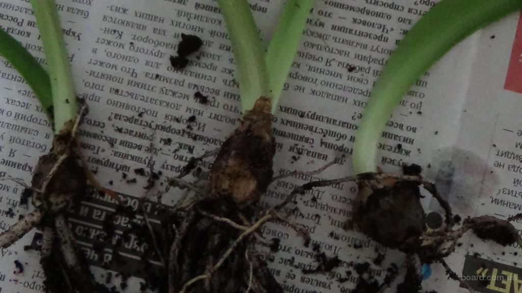 Гиппеаструм Уход и выращивание в домашних условиях