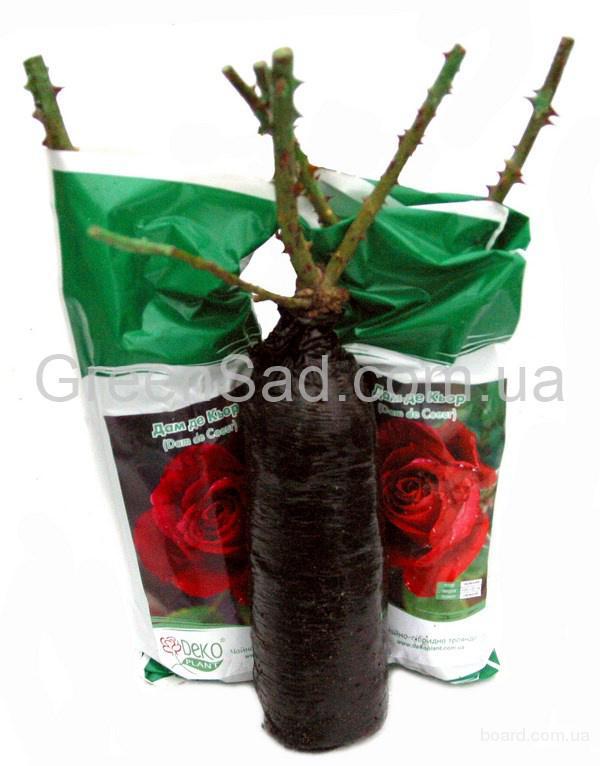 Как выглядит саженец розы