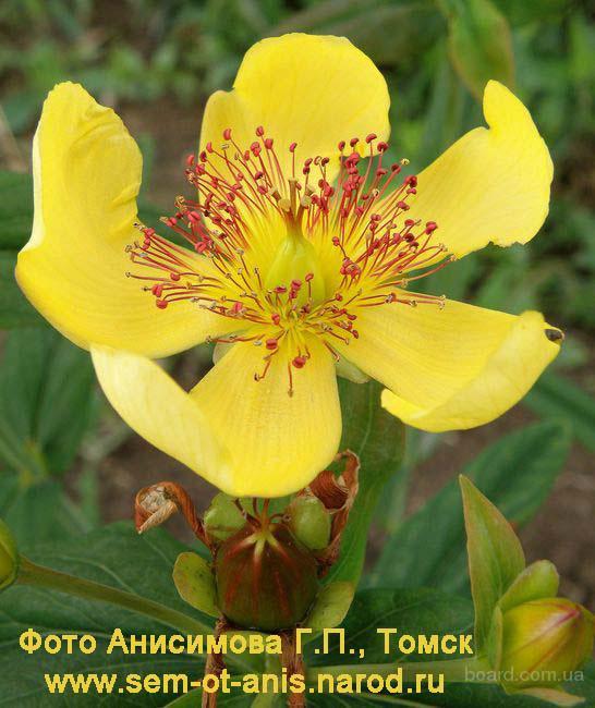 Зверобой большой - редкое лекарственное и декоративное растение с цветами диаметром 8 см!