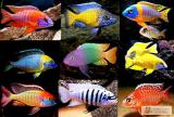 Аквариумные рыбки. Малавийские цихлиды и не только!