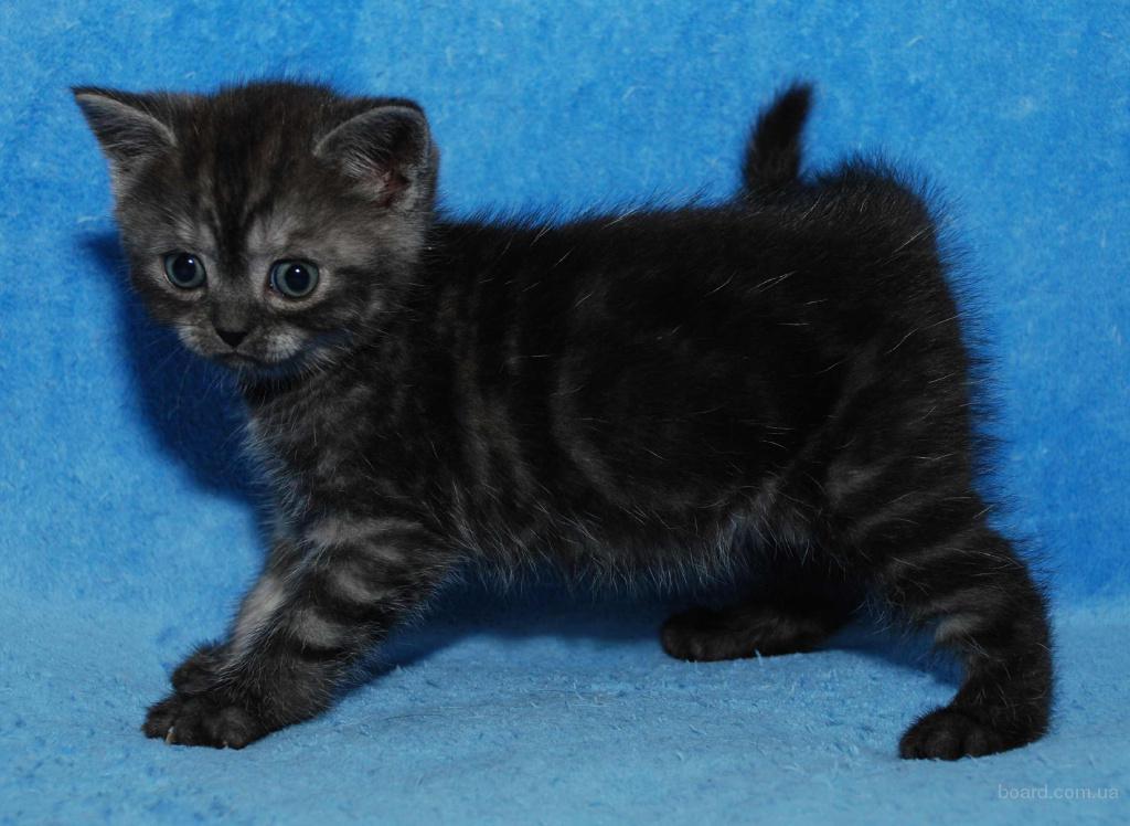 Питомник предлагает британского котенка (девочки) окраса черный дым