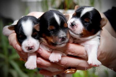 Бивер йорка - щенки  скоро в продаже!