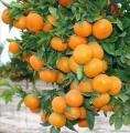 Мандарин, апельсин плодоносящий, комнатный саженцы Кировоград Георгий