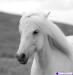 Волшебство под новый год! Подарочные сертификаты на конные прогулки и уроки. Аренда лошадей!!!