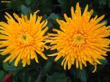 Маточники хризантемы крупно-цветковой