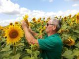 Гибридные семена подсолнечника (под гранстар и евро-лайтинг)
