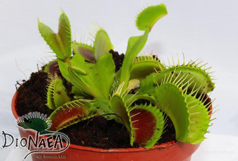 Хищные растения купить мелкий опт