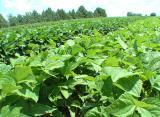 """семена сои, Сербская селекция, очень урожайный и засухостойкий сорт """"Фортуна"""""""