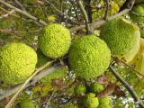 плоды маклюры (адамово яблоко)