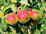 Плодовые растения - Черешня, вишня, персик, абрикос, слива, яблоня, груша,алыча,шелковица,орех ( 4 - 6