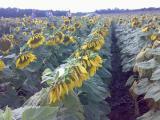 семена подсолнечника Ясон, Форвард, Украинский ф1, Любаш, Рембо