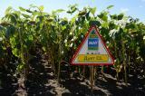 Семена подсолнечника Дуэт КЛ (92-94 дней) NEW! гибрид устойчивый к гербициду Евро-Лайтнинг
