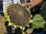 Конфета - кондитерский гибрид подсолнечника устойчивый к гербициду Евро-Лайтнинг технология «Clearfield»