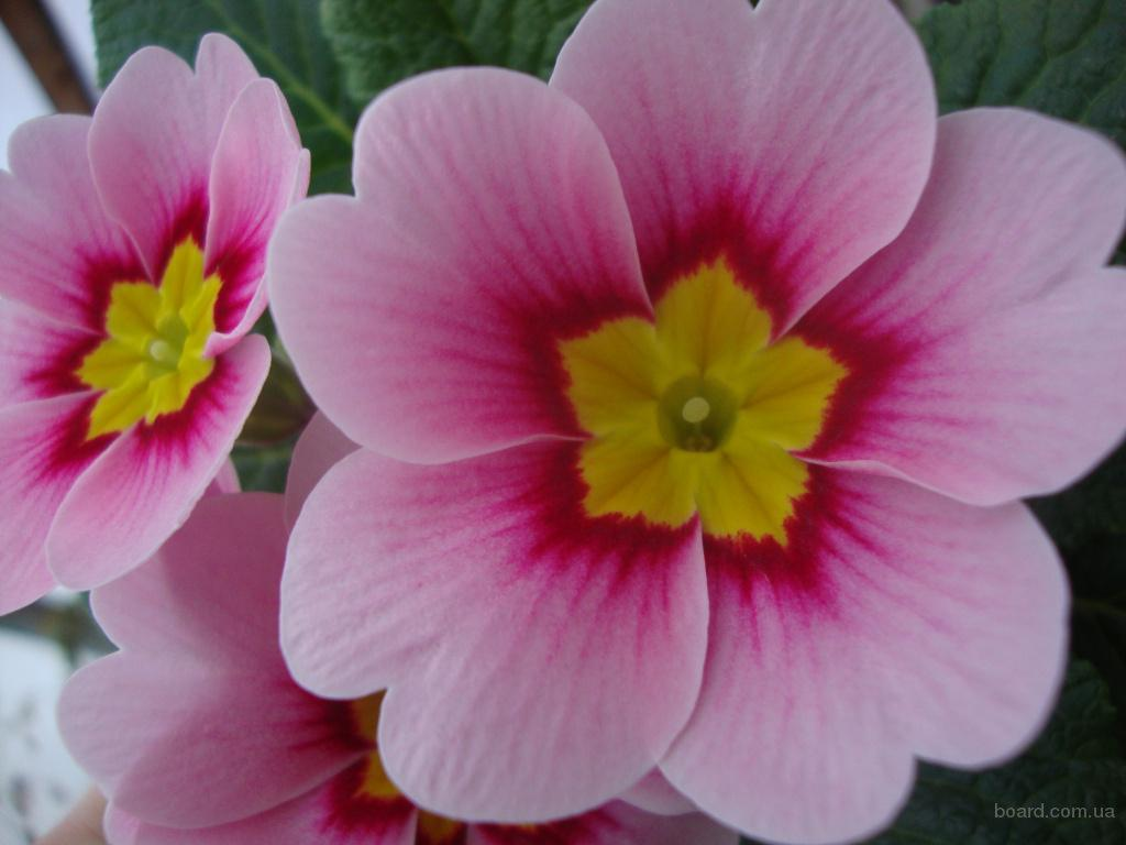 Купить цветок примула на 14 февраля и 8 марта, подарки, цветы, Киев!
