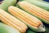 """продам семена кукурузы, Очень урожайный гибрид """" Солонянський ФАО 298"""""""