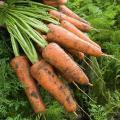 Продам морковь оптом, сорт Абака (от 1 тонны)
