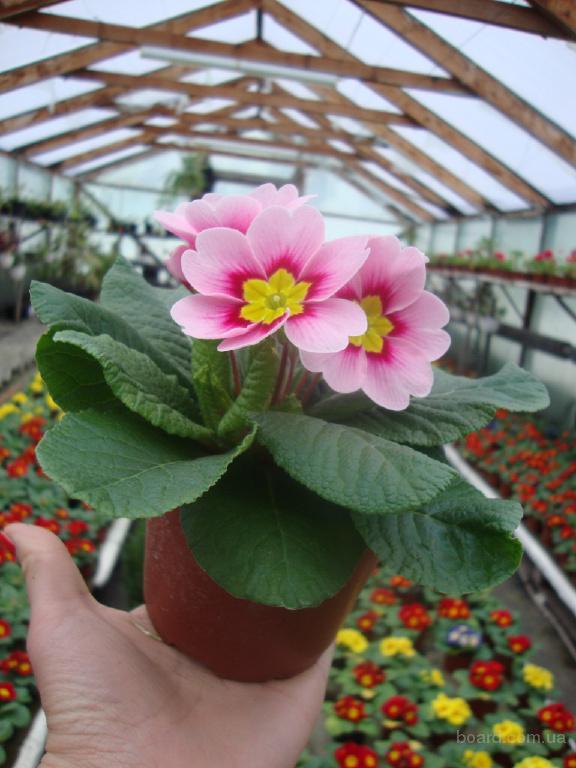 Купить цветы примула к 14 февраля и 8 марта, оптом в Киеве | Флорика