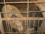 Продам свиней порода венгерская мангалица.