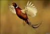 Продам взрослых охотничьих и румынских фазанов