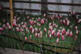 Продаем живые цветы к празднику 8 марта - тюльпаны Голландских сортов различной окраски. Цена 6-7 грн.