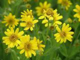 Арника сахалинская - ценное лекарственное растение. Семена почтой.