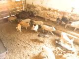 поросята .поросные свиноматки.хряки от 10 до 200 кг