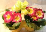 Композиции из цветов, корпоративные подарки на 8 марта, примула в горшках, 8 марта цветы сотрудникам, цветы