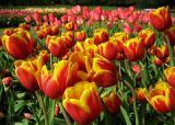 Продам тюльпаны оптом к 8 марта !