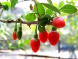 Продаю оптом и в розницу саженцы годжи в контейнере Сорта Sweet Lifberry, Big sweet, New Big, Китайский Годжи