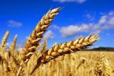 Компания-переработчик. Купим пшеницу 2-3 кл.