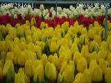 Продам тюльпаны к 8 марта.