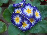 Цветы не дорого Киев, примула, бегония, гиацинт, азалия