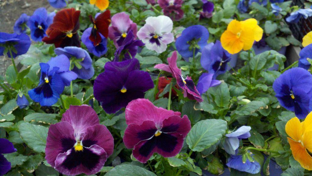 цветы виола фото: