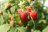 Реалізовуємо саджанці високоврожайної малини та полуниці