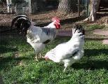 Продам инкубационное яйцо кур- Брама, Адлерская серебристая, Феникс, Пуховая, Мильфлер,Кохенхин карликовый, Бентамка.
