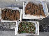 саженци frigo клубники альбион монтерей портола
