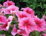 Однолетние цветы, однолетние растения, цена, продажа, оптом, Киев | Флорика