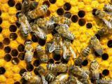 Продам пчелосемьи пчелопакеты Киевская обл