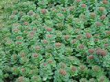 Родиола арктическая и другие редкие лекарственные растения. Семена почтой.