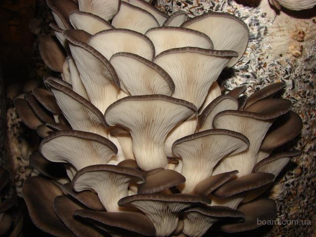 мицелий грибов вешенки и шиитаке Киев