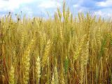 Куплю отходы кукурузы, ржи, ячменя