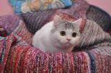 Шотландский страйт арлекин ищет новый дом