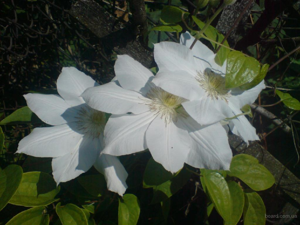 Саженцы клематисов, декоративных и плодовых растений