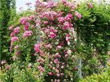 Роза плетистая - саженцы