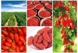 Ягоды годжи - ягоды здоровья и долголетия!